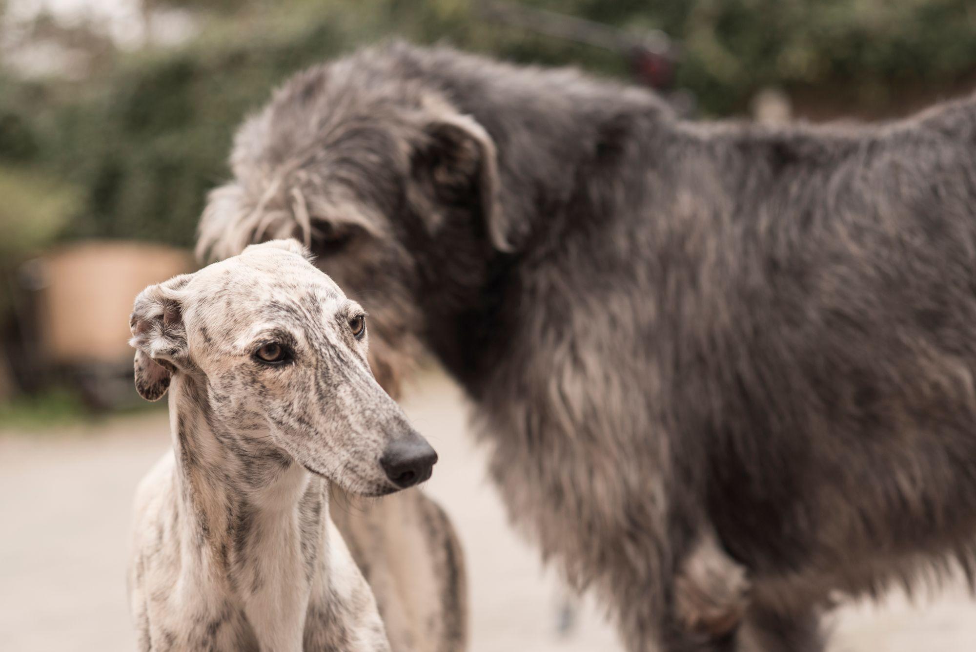 Galgo and Irish Wolfhound