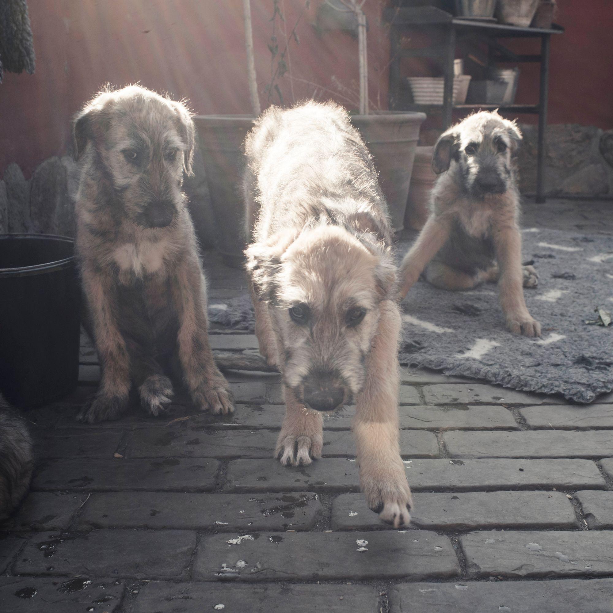Puppies of  Irish Wolfhound